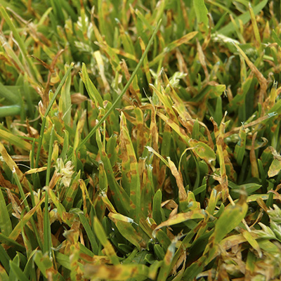 Common Lawn Problems - Visual Guide Online - Leaf_spot%5B1%5D