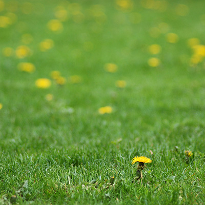 Local Shrub Care Services Belleville MI - Independent Lawn Service - dandylion