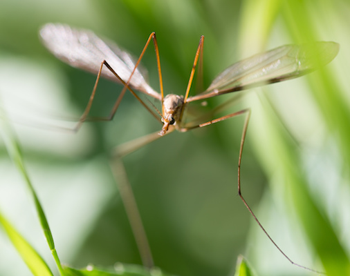 Pest Control Company - Livonia MI - Independent Lawn Service - mosquito_ils(1)