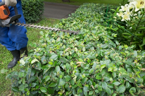 A lawn care expert prunes a shrub.